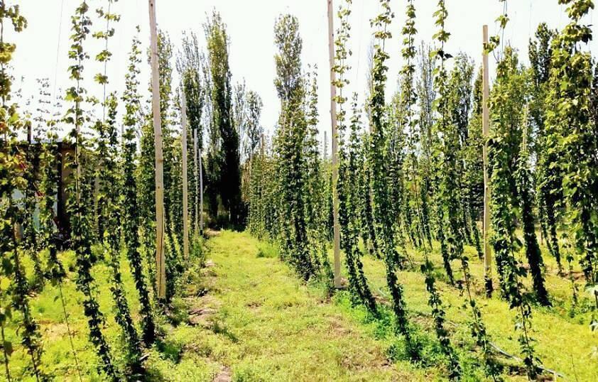 28056670 1795171503850739 1653303787596509536 n - Cerveza artesanal local y con plantación de lúpulo propia en La Pampa